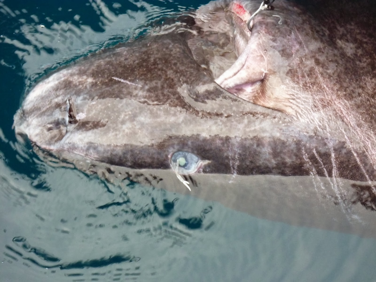 tangent ramblings greenland shark complete copepod shark is on its back