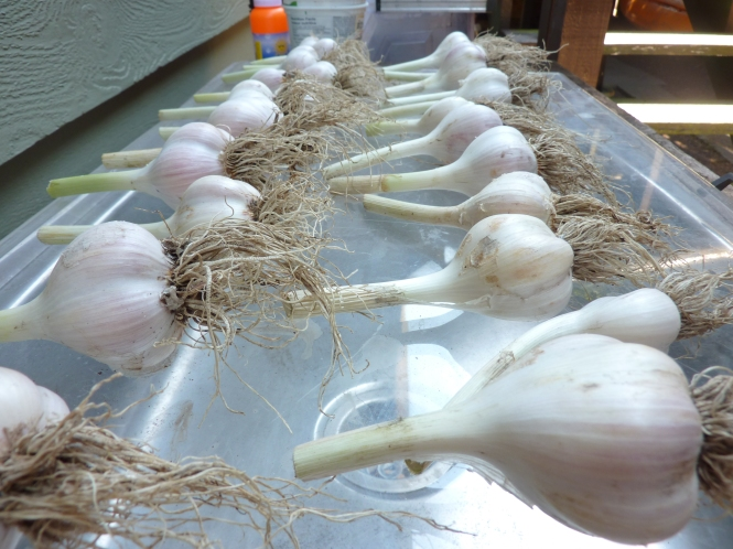 This year's garlic - I think I'll double the amount I plant for next year