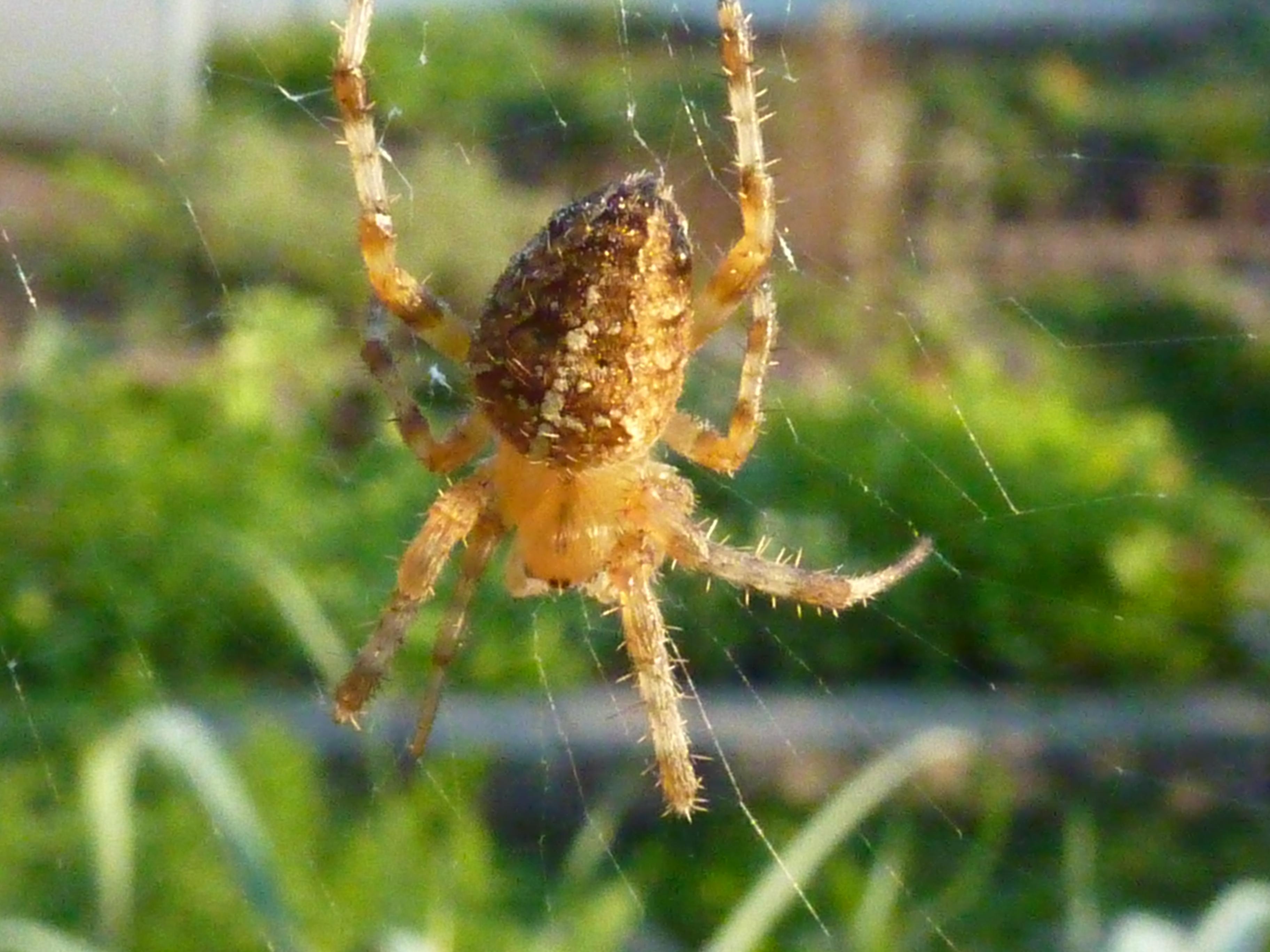 Crab spider preying bumble bee garden spiders spiders flower spiders - Arachnophobes Beware